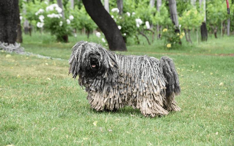 Венгерская овчарка пули - выбор питомца