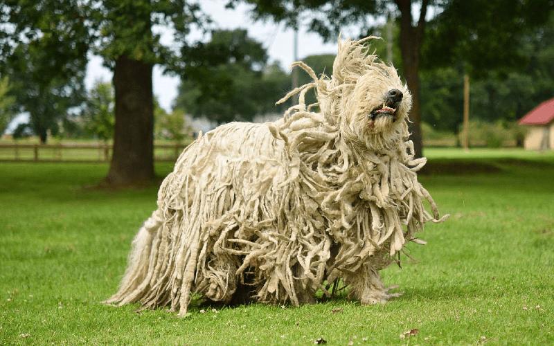Венгерская овчарка пули - окрас