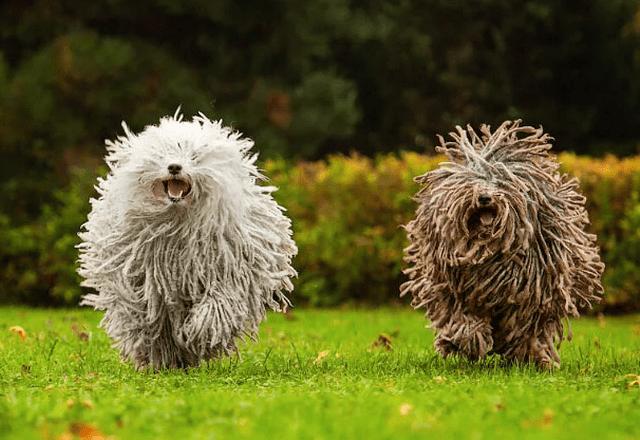 Венгерская овчарка пули - прогулка