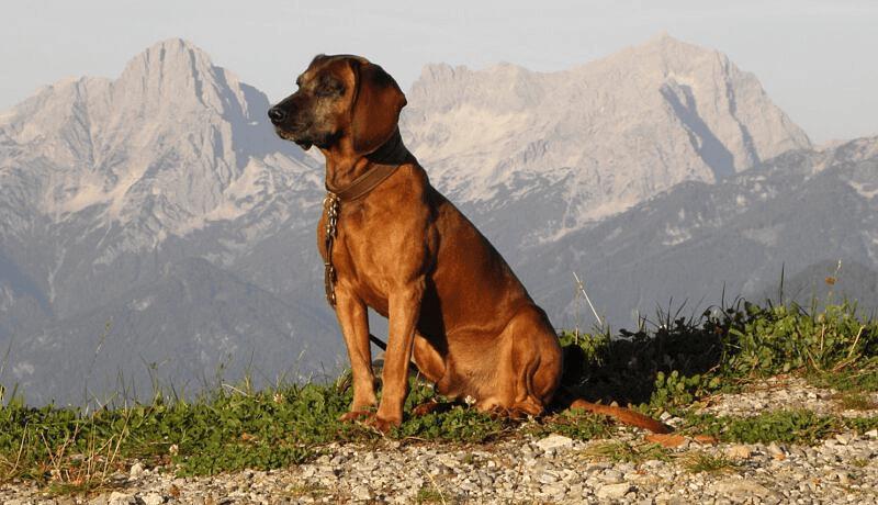 Баварская горная гончая - история