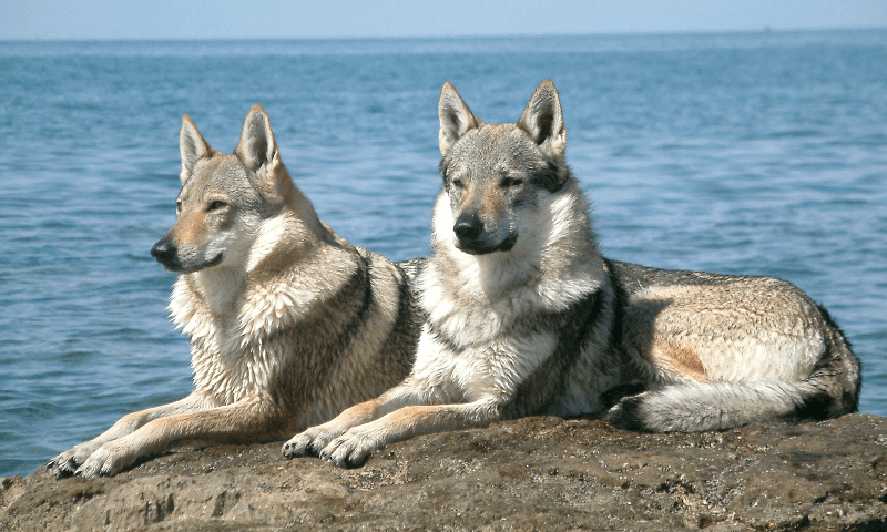 Чехословацкая волчья собака - главное фото