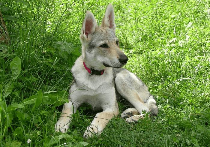 Чехословацкая волчья собака - щенок