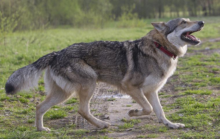 Чехословацкая волчья собака - дрессировка