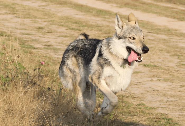 Чехословацкая волчья собака - прогулки