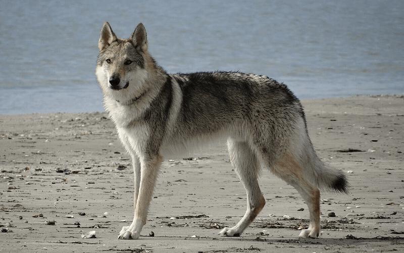 Чехословацкая волчья собака - окрас