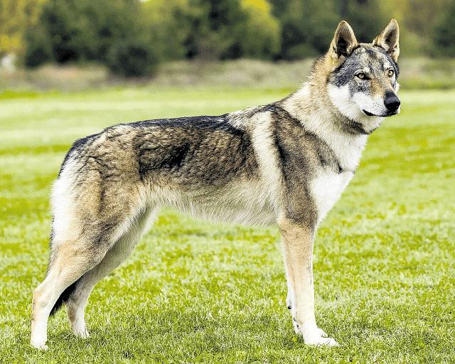 Чехословацкая волчья собака - размеры