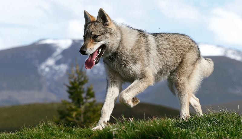 Чехословацкая волчья собака - история