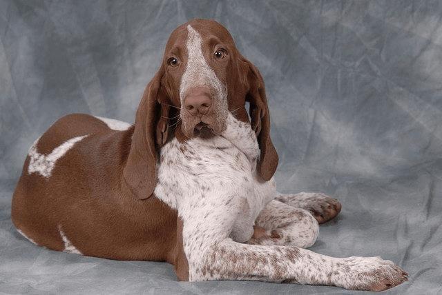 Фландрский бувье - главное фото