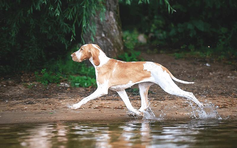 Фландрский бувье - прогулки
