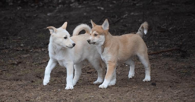 Ханаанская собака - щенки