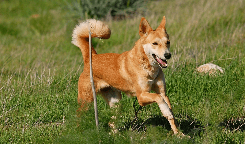 Ханаанская собака - прогулки