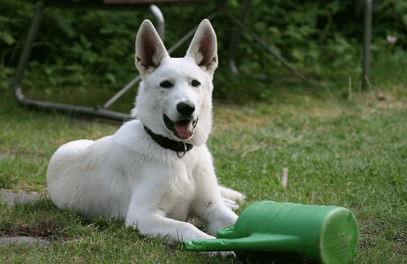 Ханаанская собака - белая