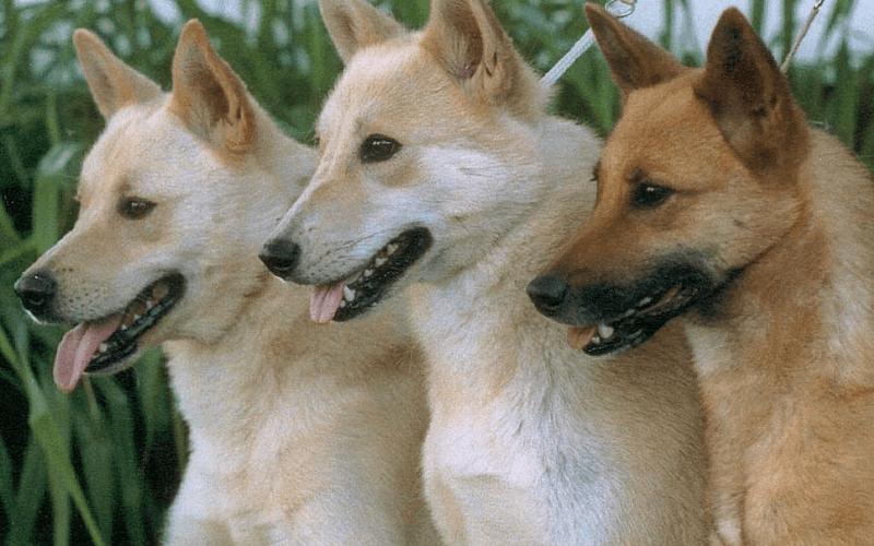 Ханаанская собака - гигиена