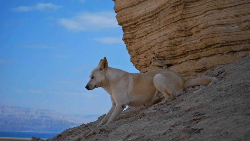 Ханаанская собака - история