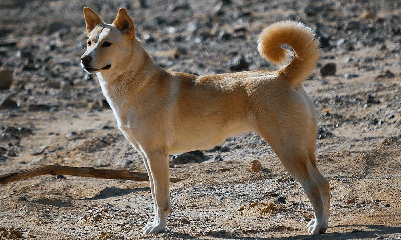 Ханаанская собака - размеры
