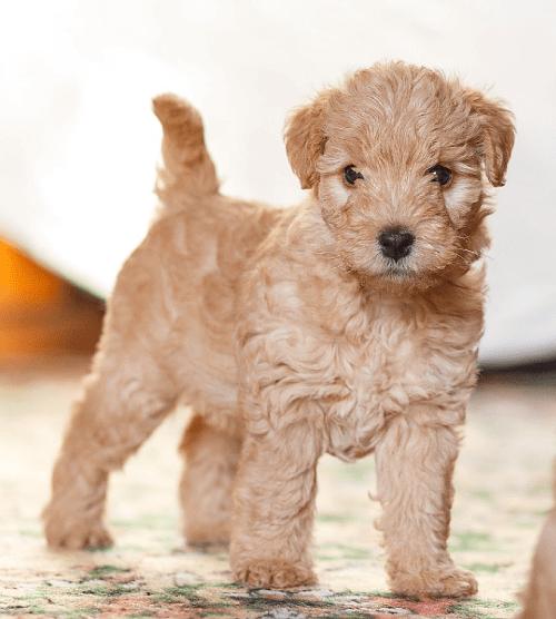 Лейкленд терьер - щенок