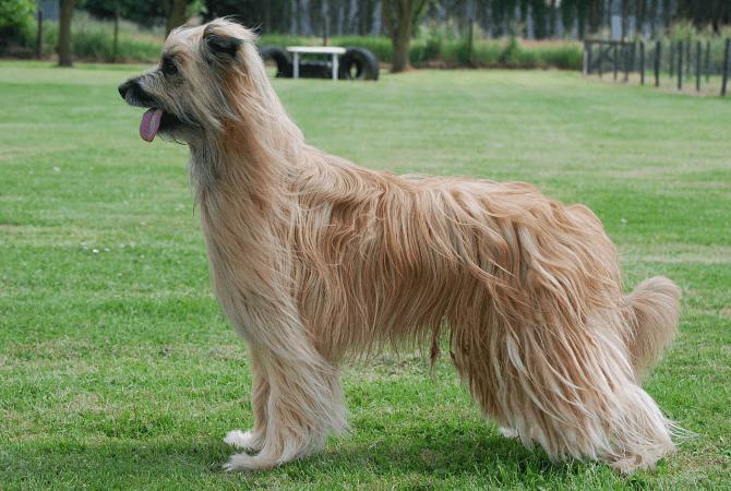 Пиренейская овчарка - главное фото