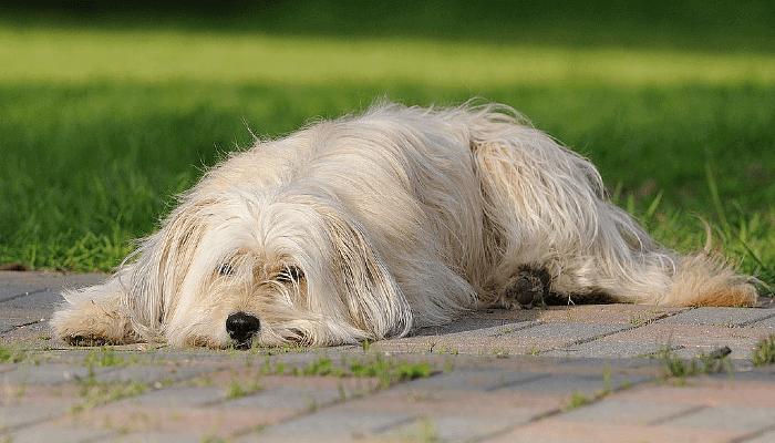 Пиренейская овчарка - сплошной окрас