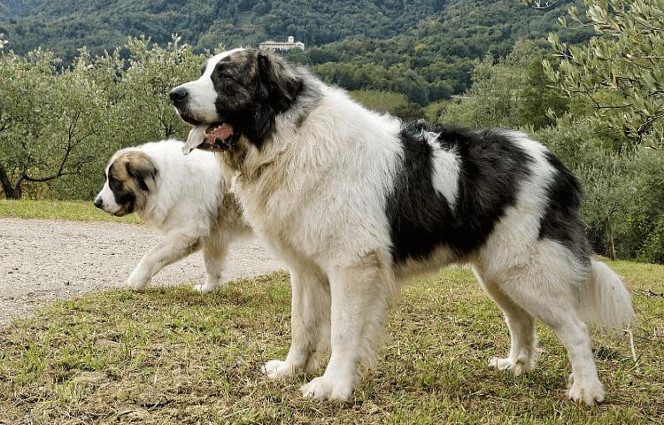 Пиренейский мастиф - главное фото