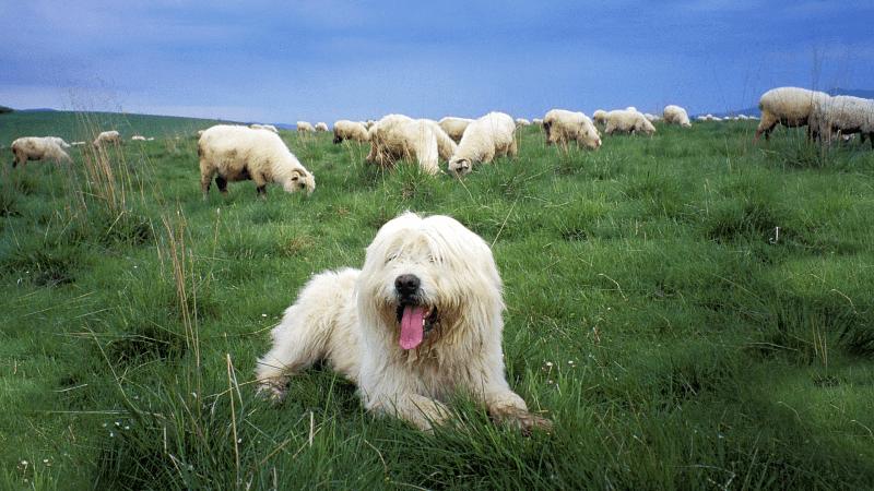 Польская низинная овчарка - главное фото