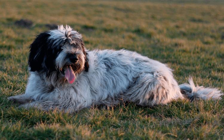 Польская низинная овчарка - история