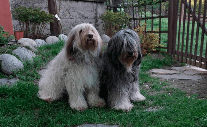 Польская низинная овчарка - характер