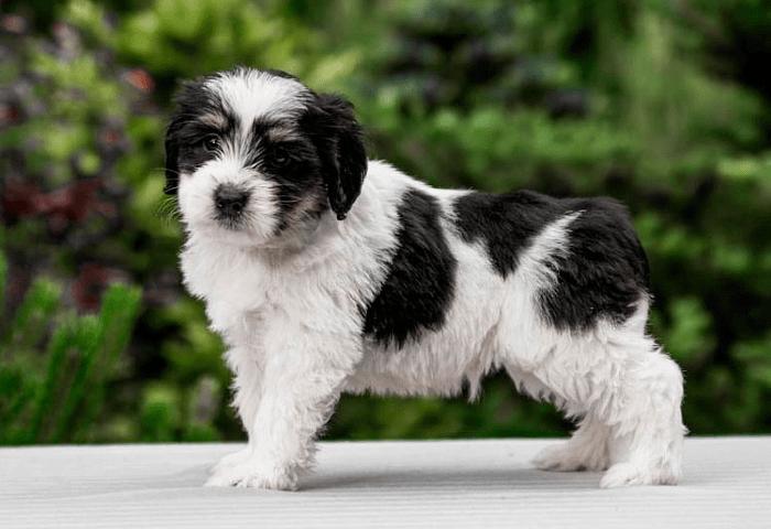 Польская низинная овчарка - щенок