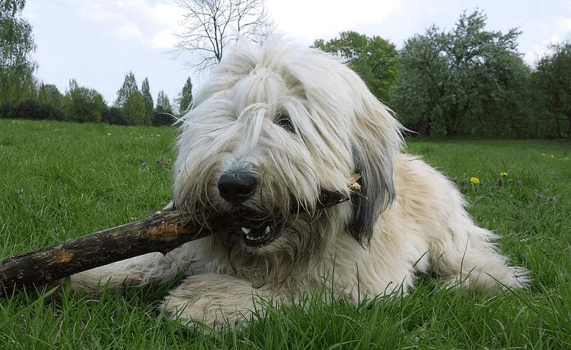 Польская низинная овчарка - гигиена