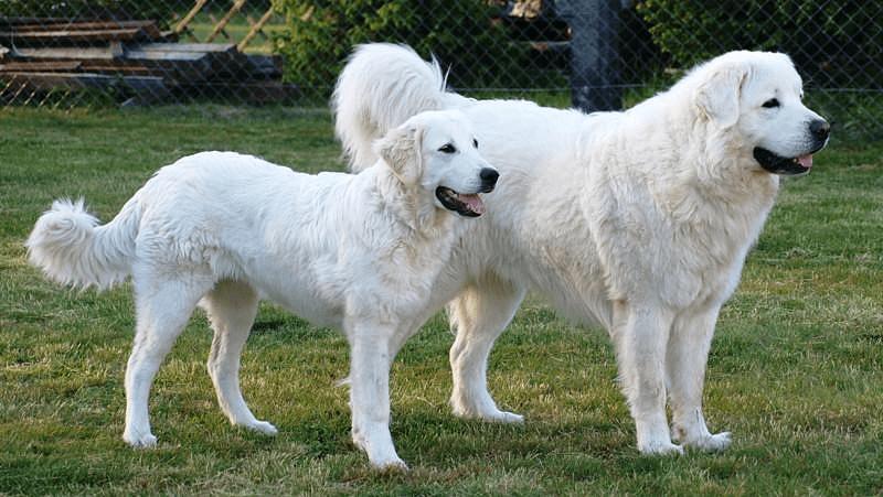 Польская подгалянская овчарка - характер