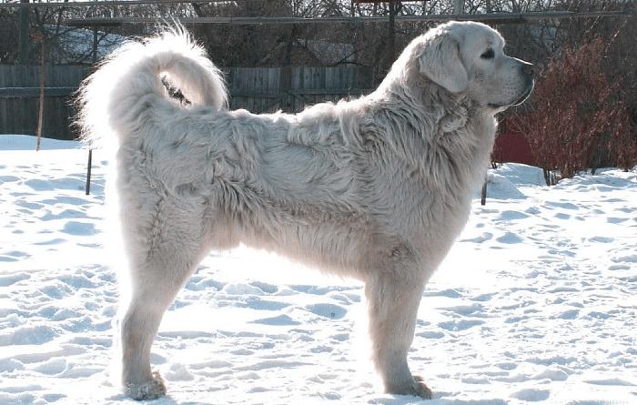 Польская подгалянская овчарка - дрессировка
