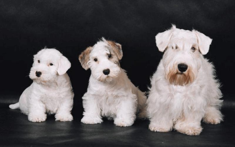 Силихем терьер - щенки