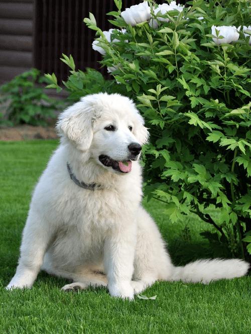 Словацкий чувач - щенок