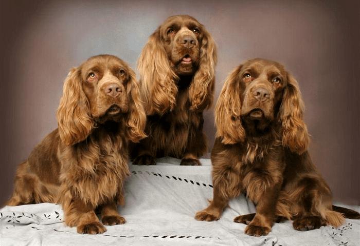 Суссекс спаниель - щенок