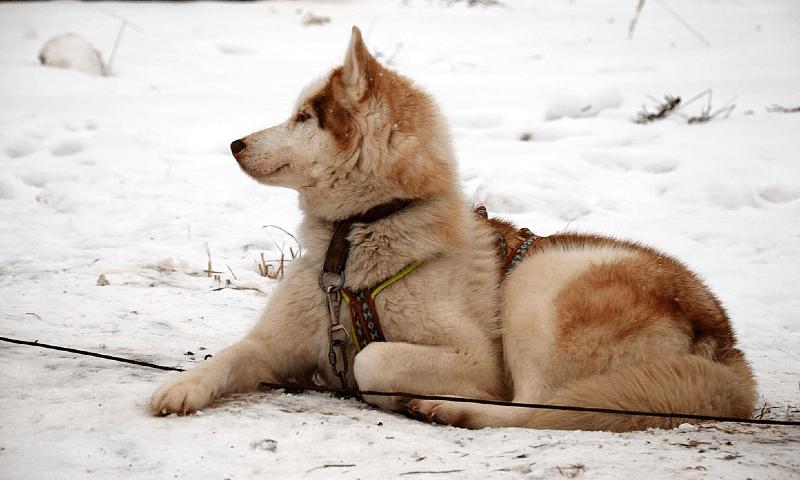 Чукотская ездовая собака - факты