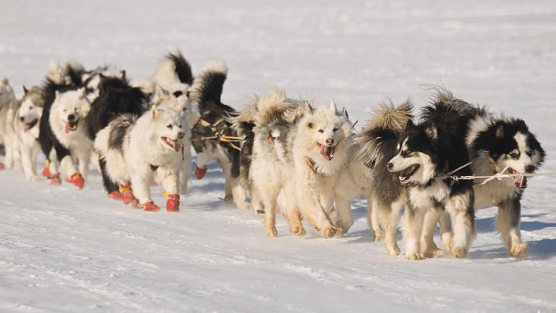 Чукотская ездовая собака - внешний вид