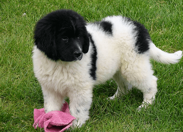 Ландзир - щенок