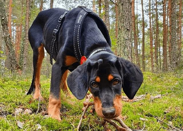Литовская гончая щенок