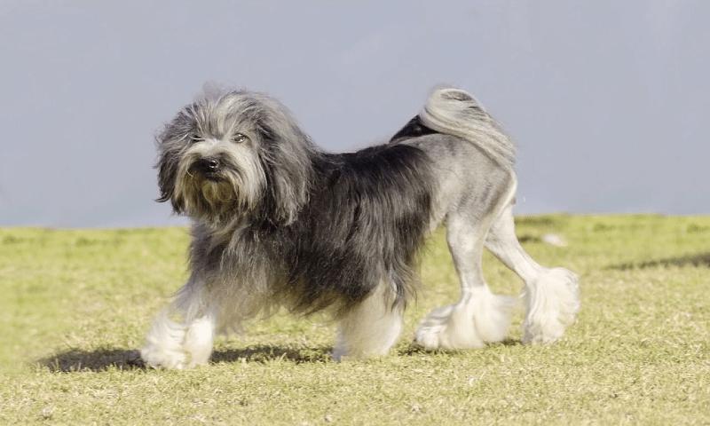 Малая львиная собака - главное фото