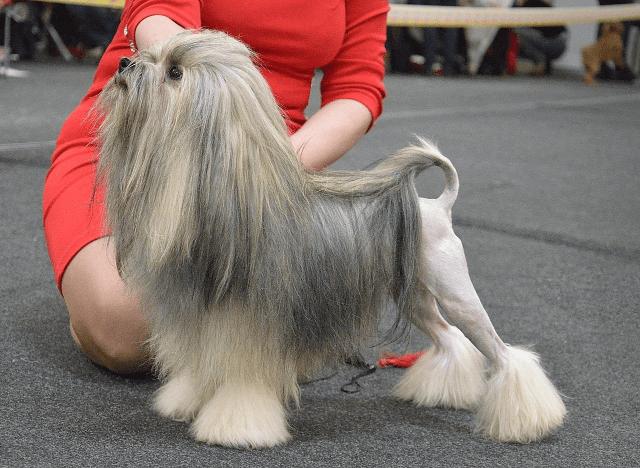 Малая львиная собака - гигиена