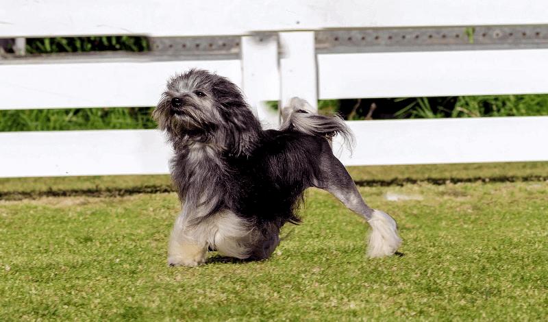 Малая львиная собака - прогулки