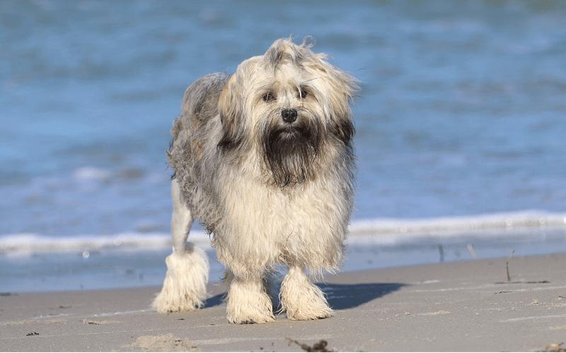 Малая львиная собака - история