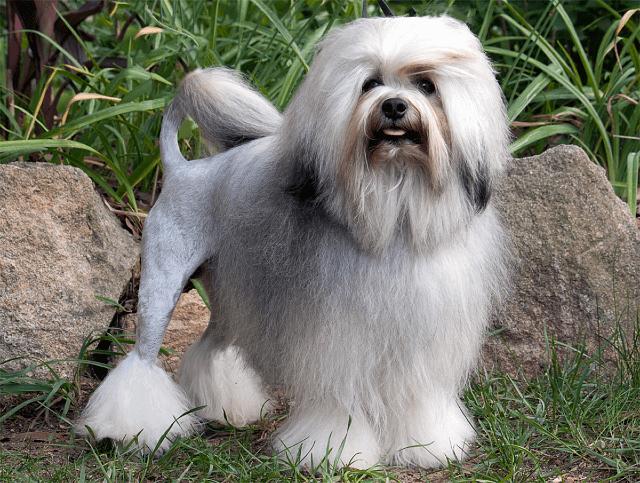 Малая львиная собака - внешний вид