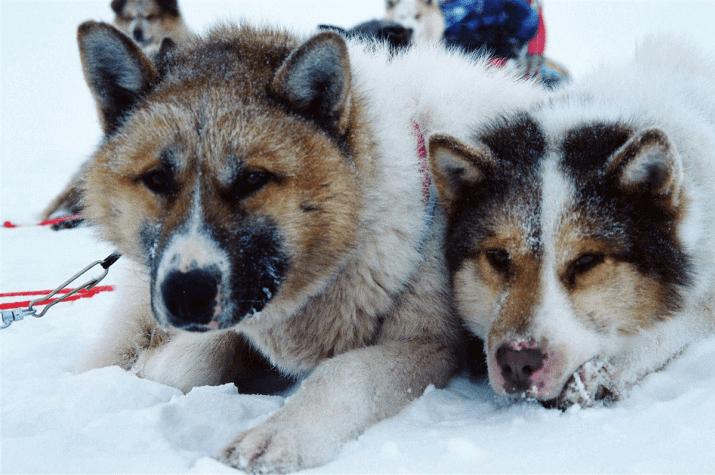 Собака чукотская ездовая - гигиена