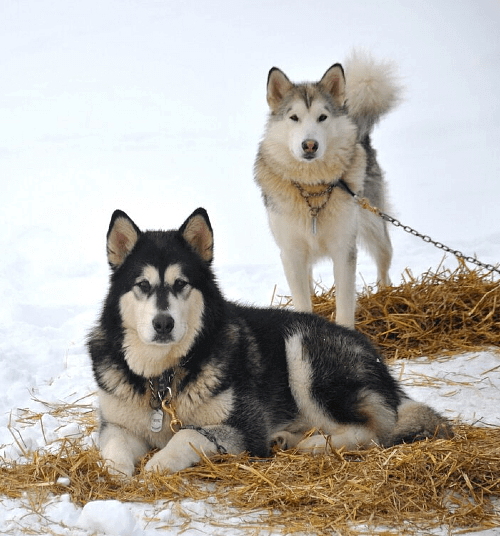 Собака чукотская ездовая