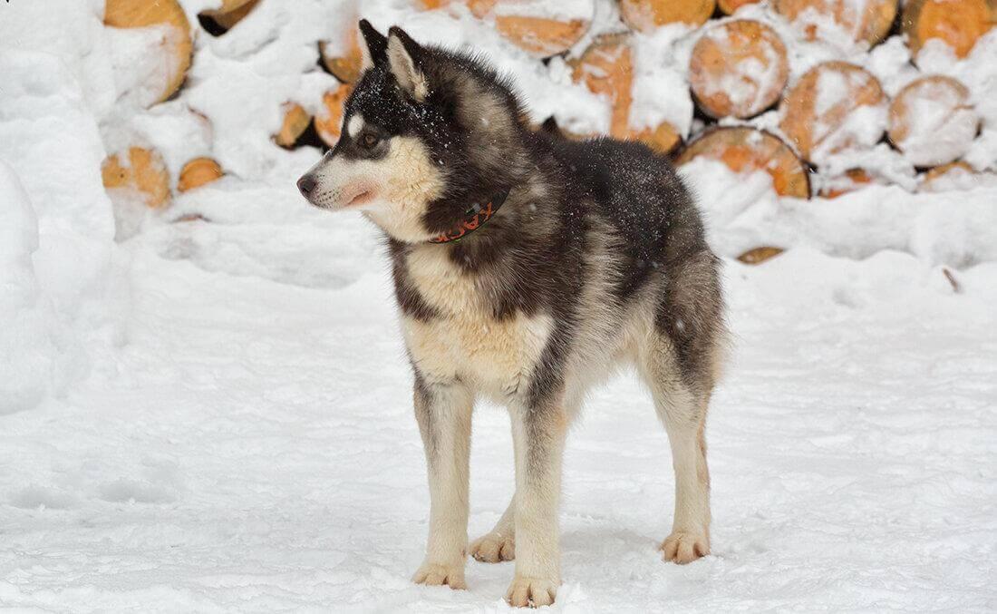 Собака чукотская ездовая - щенок